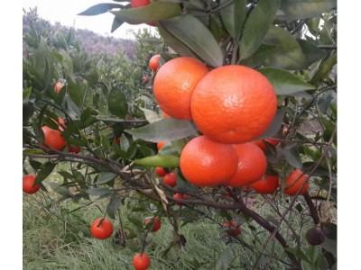 嫁接盆栽柑橘子苗 世纪红柑桔 果苗