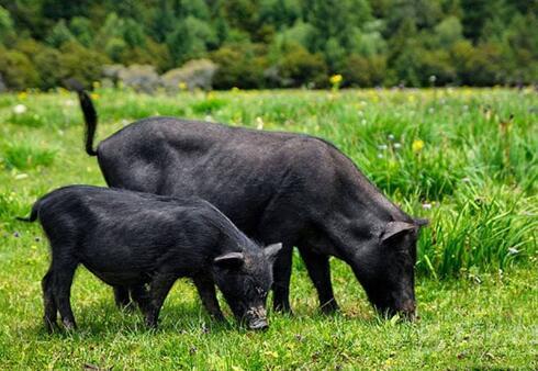 农村创业不挑年龄 致富项目藏香猪养殖